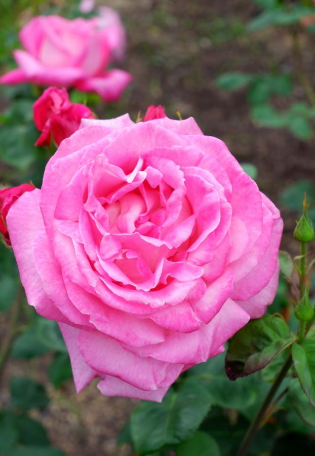 Rosa Grace de Monaco