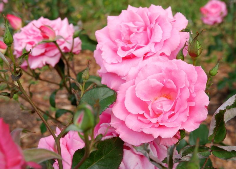 Rosa 'Hoh-Jun'