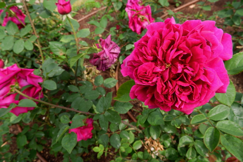 Rosa The Prince