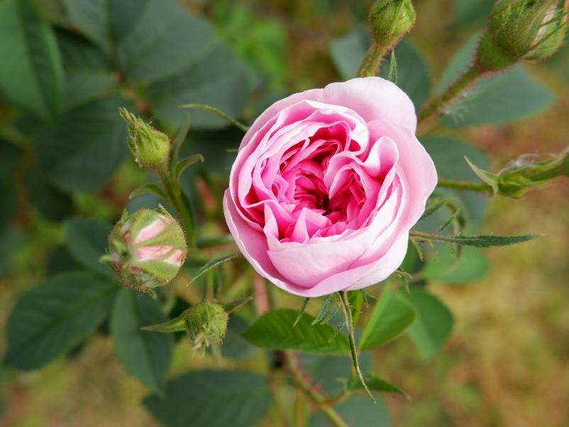 Rosa Königin von Dänemark