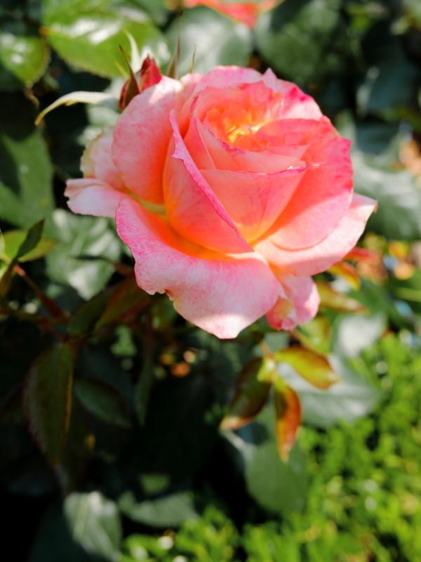 Rosa'Yachiyo-nishiki'