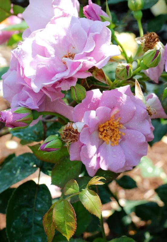 Rosa 'Tasogare'
