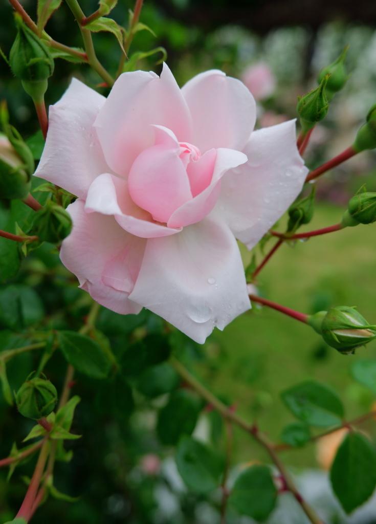 Rosa New Dawn
