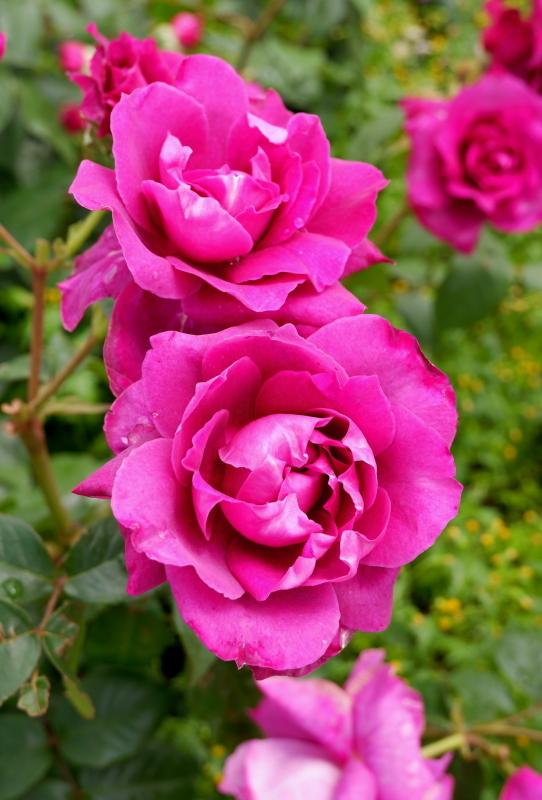 Rosa Intrigue