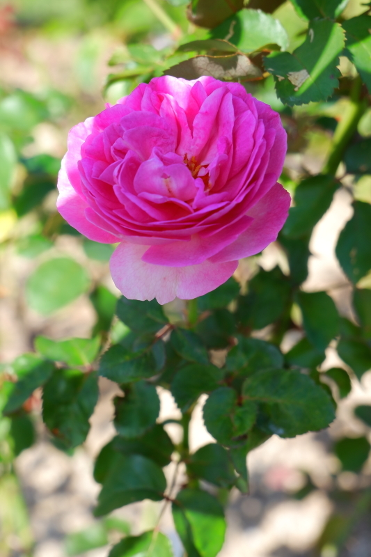 Rosa Le printemps
