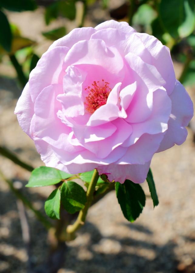 Rosa'Ieraishan'