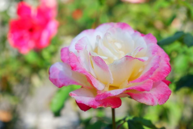 Rosa Double Delight