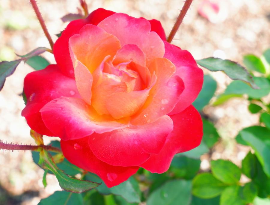Rosa Fruité