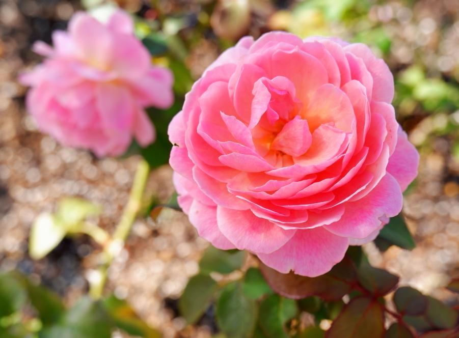Rosa 'Kaorikazari'