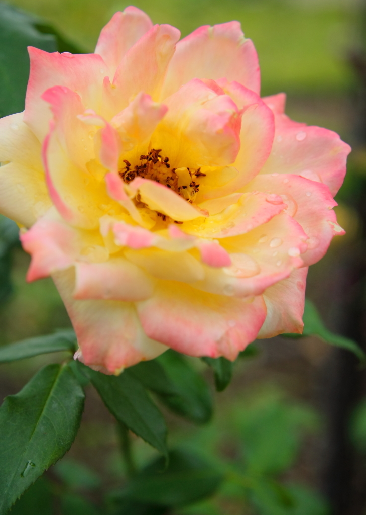 Rosa Tropical Sherbet