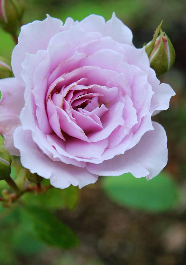 Rosa Libellula