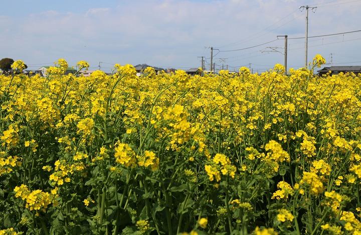 菜の花畑に 2 3 15