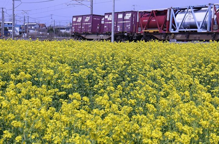 菜の花畑の横を桃太郎通過 2 3 15