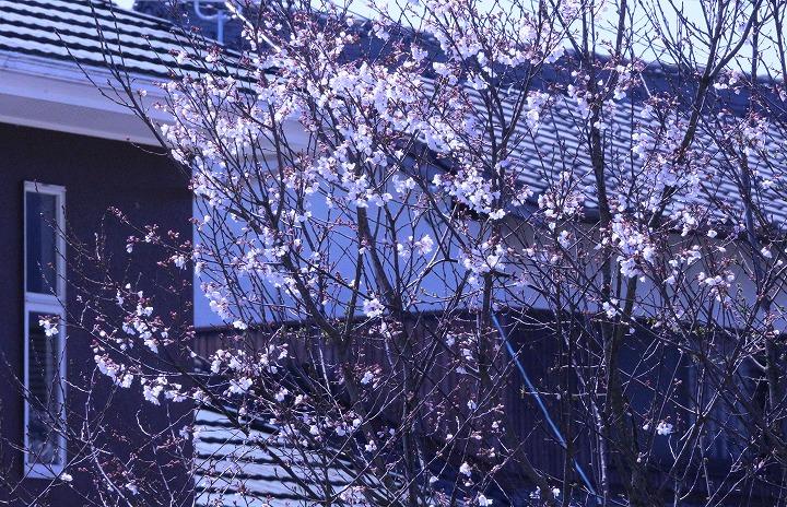 窓から見えた薄墨桜 2 3 23