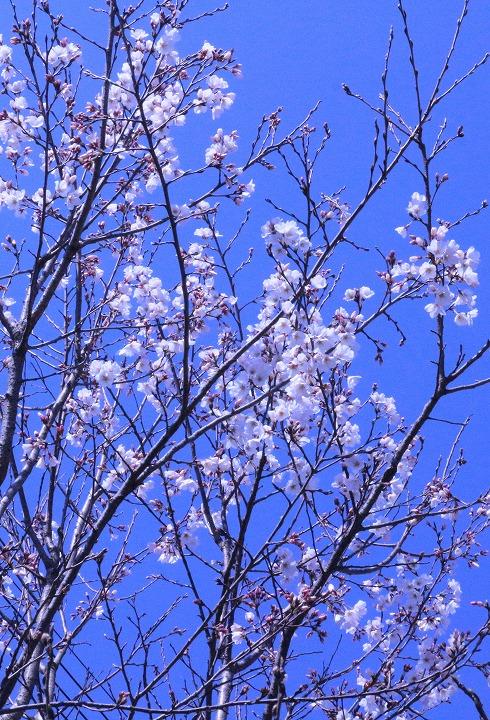 薄墨桜木下から縦に撮る 2 3 23