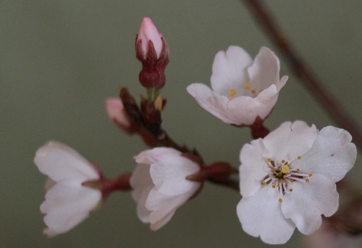 花だけ横に撮る 薄墨桜 2 3 23