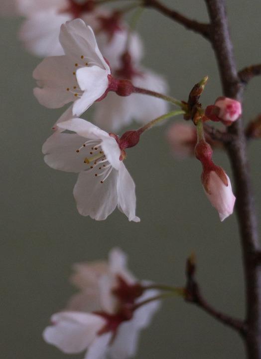 薄墨桜 花大きく縦に切取る 2 3 23