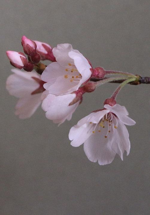 薄墨桜 花と蕾と 縦に撮る 2 3 23