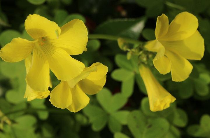 オオキバナカタバミ花盛り 2 3 14
