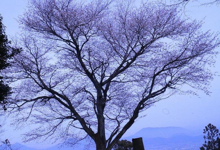 天涯桜 山桜 横に 2 3 26