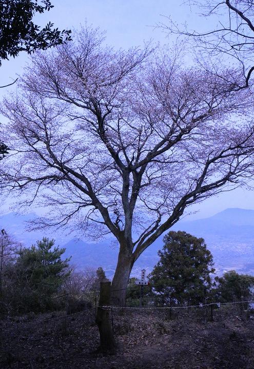 天涯山桜 縦に 2 3 26