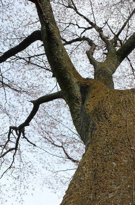 天涯桜 幹と枝と 縦に 2 3 26