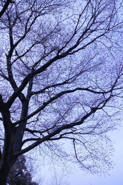天涯桜の枝の花満開 2 3 26