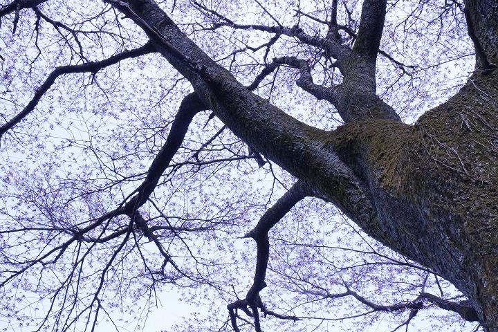 天涯桜 枝と花と 2 3 26