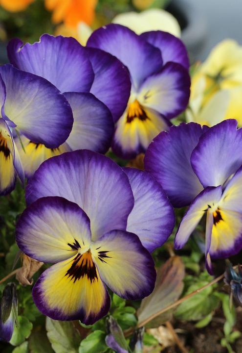 紫黄白色のパンジーの花 2 3 9