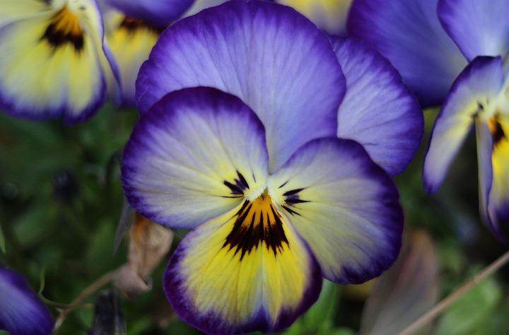 紫の縁取りのパンジー 2 3 9