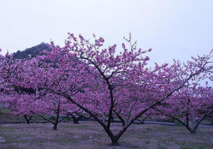 桃畑の花の花 2 3 31