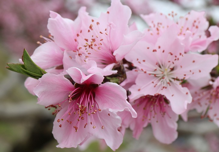 桃の花アップで 2 3 31