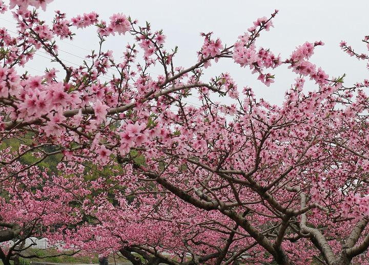 桃の花を切取る 横に 2 3 31