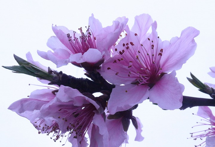 桃の花だけ切取る 瓦の里の上の畑 2 3 31