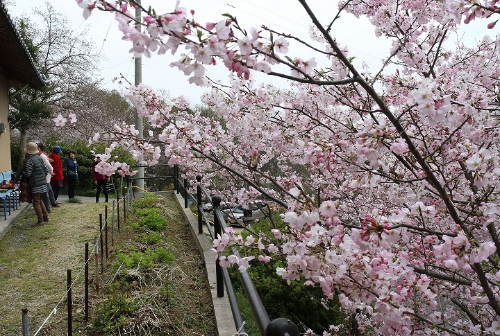 エドヒガンザクラ 満開 花見 2 3 31