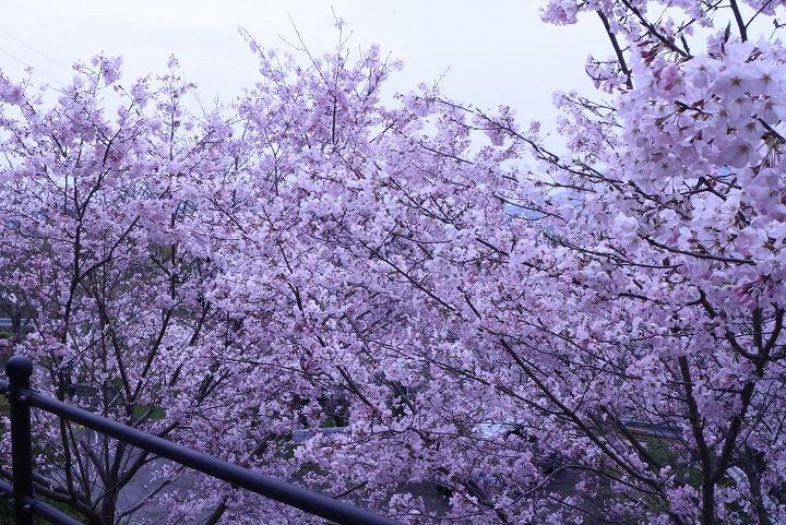 大師堂の西側江戸彼岸桜満開 2 3 31