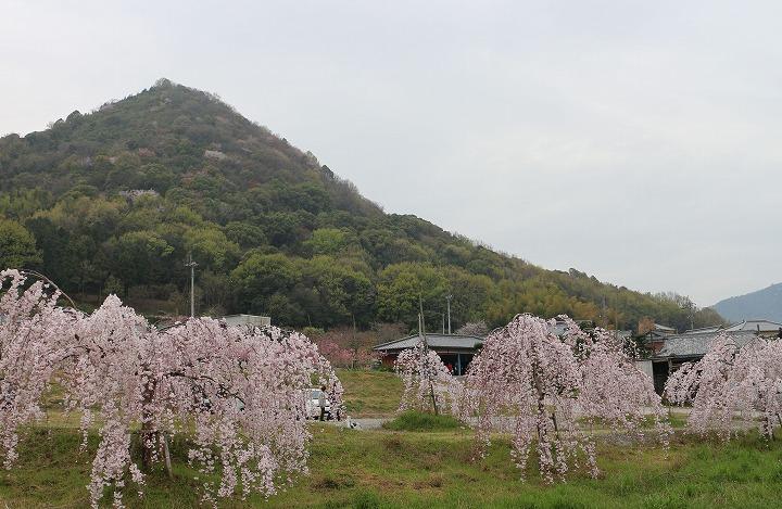 山条山と枝垂れ桜 2 3 31