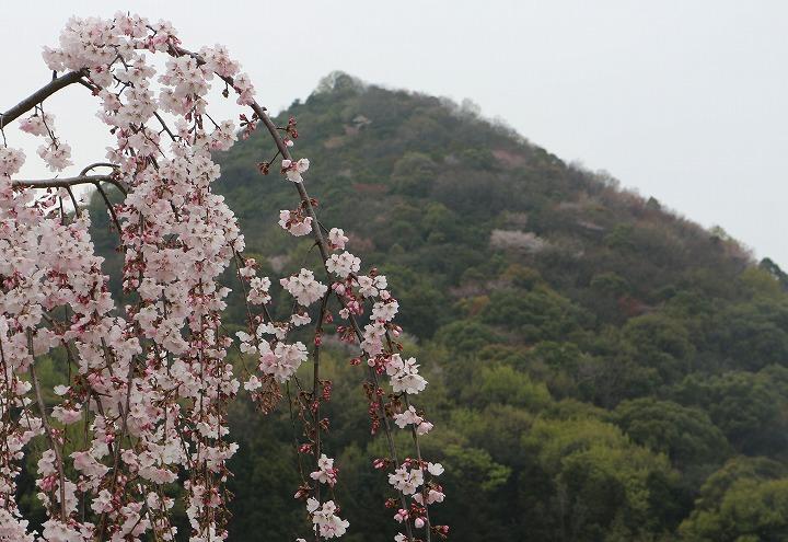 山条山と枝垂れの桜 宗吉 2 3 31