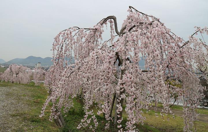 宗吉瓦窯跡史跡公園の枝垂れ桜 2 3 31