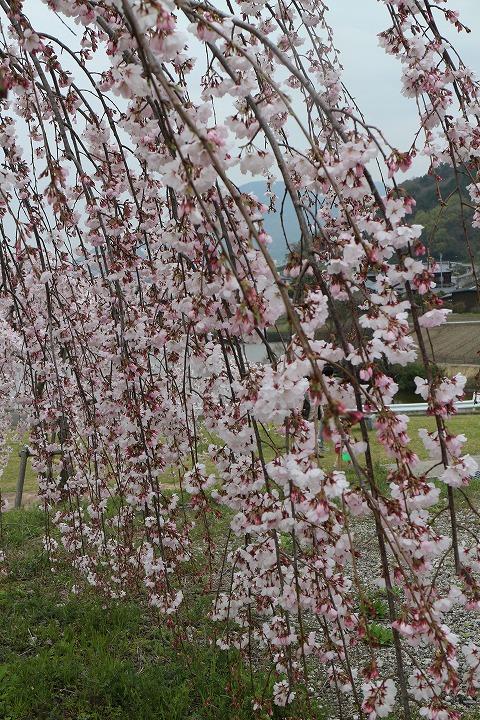 滝のような枝垂れ桜 宗吉 2 3 31
