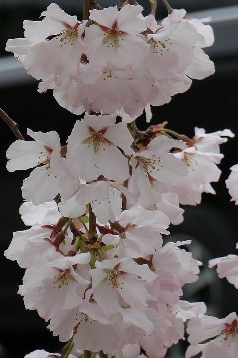 枝垂れの桜 宗吉瓦窯跡史跡公園 2 3 31