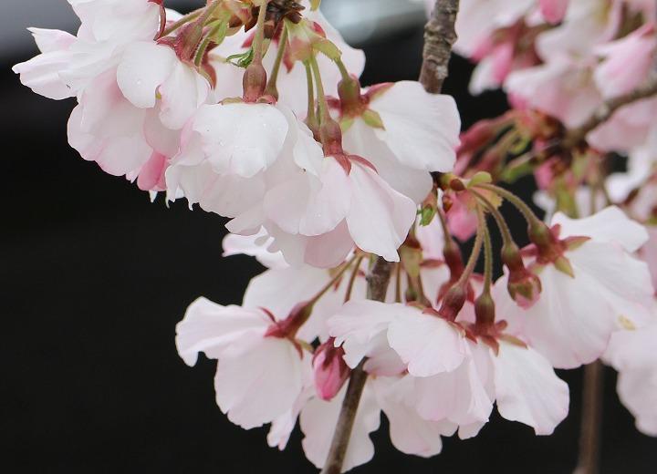 かわらの里の枝垂れ桜 アップで 2 3 31