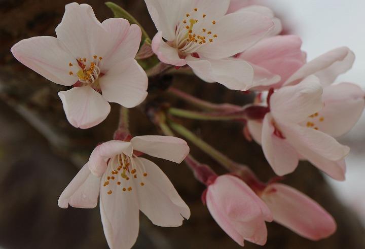 白川桜 咲き始め 宗吉 2 3 31