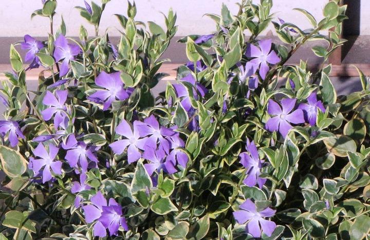 仕事最後の日の花壇 蔓日々草 2 3 30
