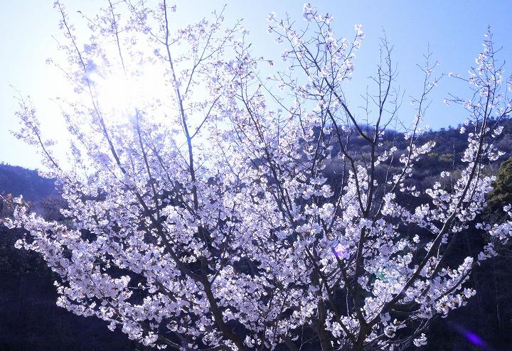 不動の滝の桜 2 3 23