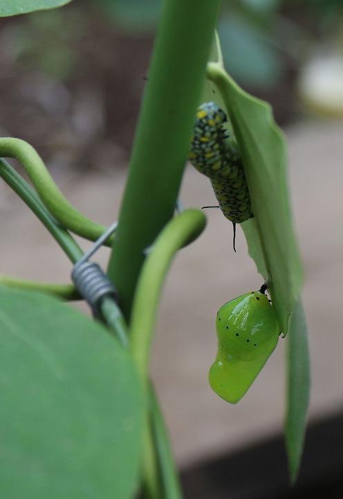 蛹化中の幼虫 翌日蛹になる 2 3 29