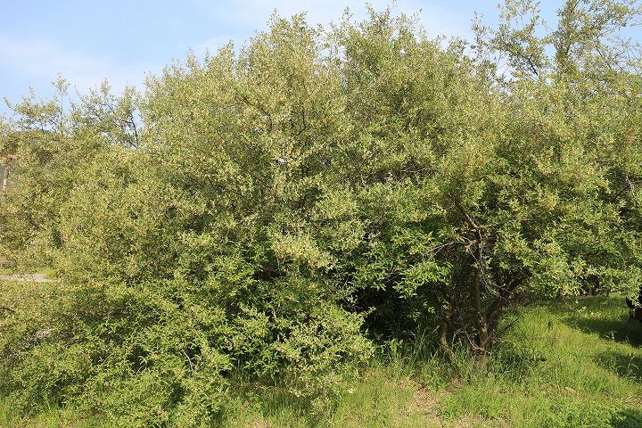 夏グミの大きな木 サン リゾート 2 5 5
