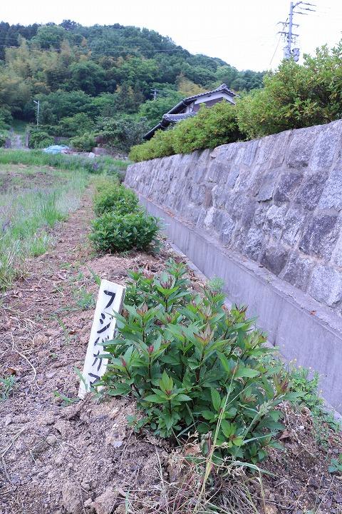 藤袴の中の草抜き 2 5 18