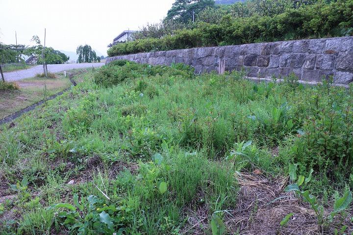 宗吉 藤袴園の草抜き 2 5 18