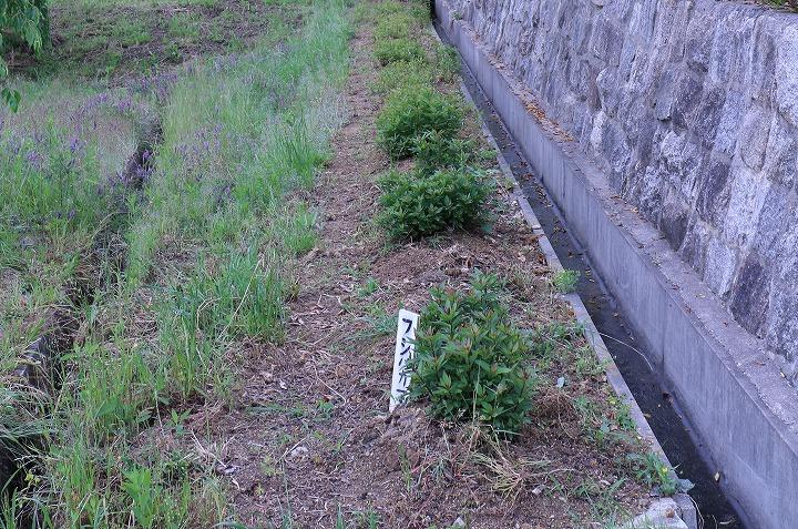 藤袴の中の草抜き 2 5 19
